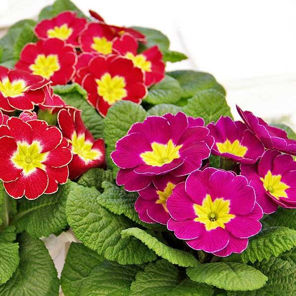 Sementi fiori stagionali da interno ed esterno per il tuo for Fiori grassi da giardino