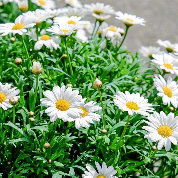 Sementi fiori stagionali da interno ed esterno per il tuo - Grossi fiori da giardino ...